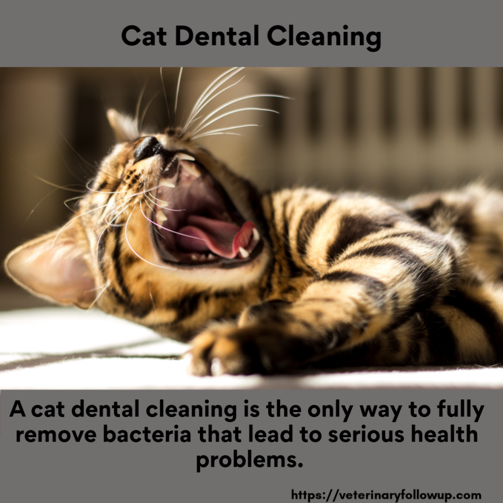 Cat Dental Cleaning