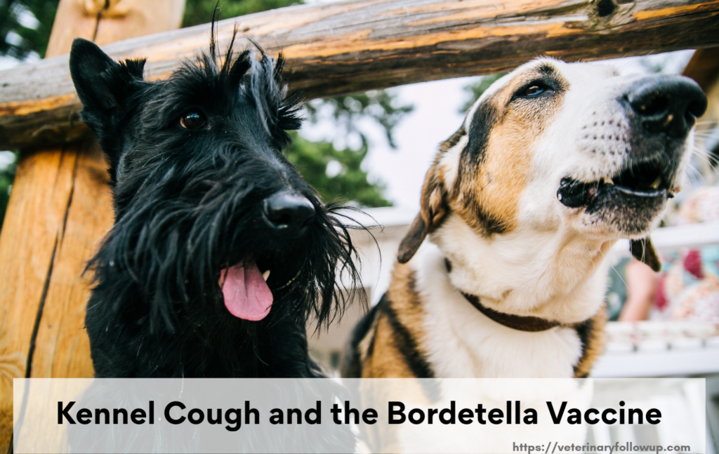 Kennel Cough and Bordetella