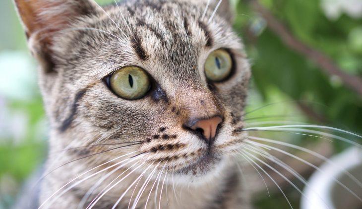 Feline Urinary Tract Disease